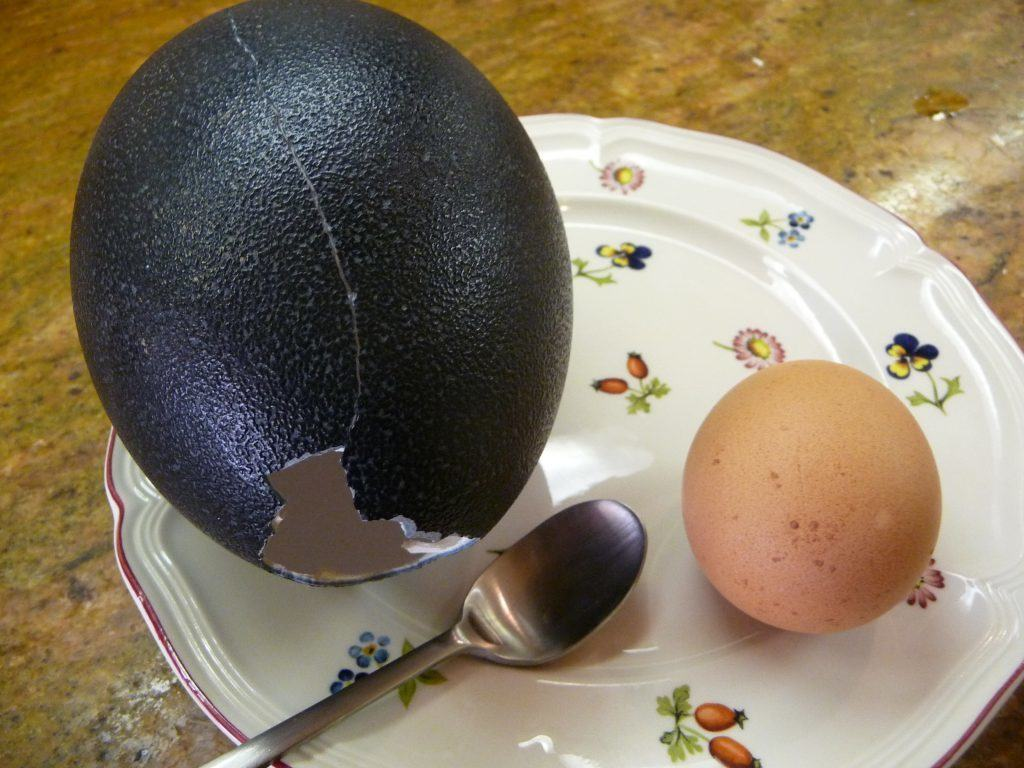 Emu egg (left), chicken egg (right)